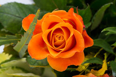 The orange rose. Against the background of green leaves Stock Photos