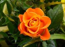 The orange-rose stock image