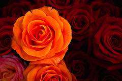 Orange rose againt in red rose bunch. Orange rose againt red roses background stock photos