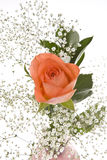 Orange Rose with Baby's Breath Royalty Free Stock Photo