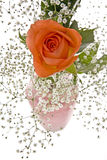 Orange Rose with Baby's Breath Stock Photography