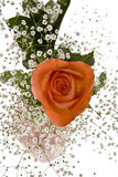 Orange Rose with Baby's Breath Stock Images