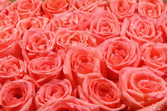 Orange rose background Stock Photography