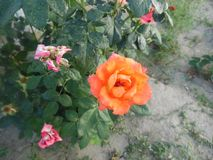 Orange rose. Beautiful orange rose royalty free stock photography