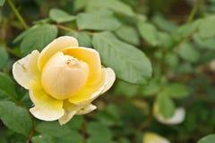 Orange rose. Beautiful orange rose blooming in the garden royalty free stock photo