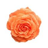 Orange rose. Orange beautiful rose blossoming on white background royalty free stock images