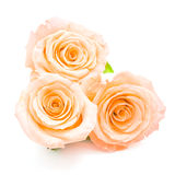 Orange rose. Beautiful orange rose flower, isolated on white background royalty free stock photography