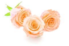 Orange rose. Beautiful orange rose flower, isolated on white background royalty free stock image