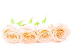 Orange rose. Beautiful orange rose flower, isolated on white background stock photos