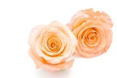 Orange rose. Beautiful orange rose flower, isolated on white background royalty free stock images