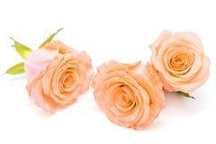 Orange rose. Beautiful orange rose flower, isolated on white background stock photography