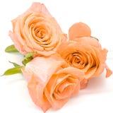 Orange rose. Beautiful orange rose flower, isolated on white background royalty free stock photography