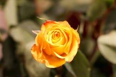 Orange Rose. Beautiful flowers. Valentines dau coming soon. Orange Rose.Beautiful flowers. Valentines dau coming soon. Birthday surprise royalty free stock image