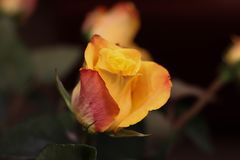Orange Rose. Beautiful flowers. Valentines dau coming soon. Orange Rose.Beautiful flowers. Valentines dau coming soon. Birthday surprise stock photo