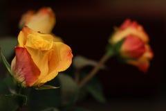 Orange Rose. Beautiful flowers. Valentines dau coming soon. Orange Rose.Beautiful flowers. Valentines dau coming soon. Birthday surprise royalty free stock images