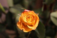 Orange Rose. Beautiful flowers. Valentines dau coming soon. Orange Rose.Beautiful flowers. Valentines dau coming soon. Birthday surprise royalty free stock photography