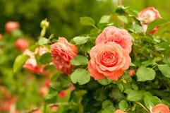 Orange rose. Orange beautiful rose growing in the garden stock photo