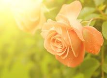 Orange rose stock images