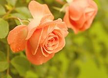 Orange rose stock image