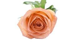 Orange rose. Beautiful orange rose isolated on white background stock photo