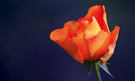 Orange rose. Beautiful and vibrant orange color rose against dark blue background royalty free stock photo