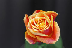 Orange rose Stock Photos