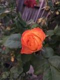 Orange rose. Bloom royalty free stock photo