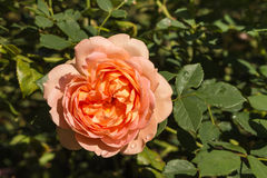 Orange rose in bloom Royalty Free Stock Photos