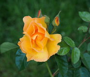 Orange Rose In Bloom Stock Photos