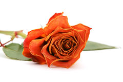 Orange rose bloom with faded petals Stock Image