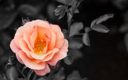 Orange Rose Blooming Stock Photography