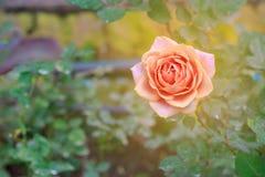 Orange rose blooming. Blooming orange rose in the garden with warm light stock photos