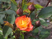 Orange rose. Blooming in summer, Lithuania Stock Images