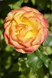 Orange rose blossom. A majestic orange rose blossom, completely open. Illuminated by the morning sun Royalty Free Stock Photos