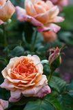 Orange Rose blossom Stock Photography