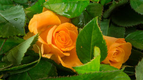 Orange rose blossom in green leaves with water Stock Photos