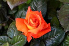 Orange rose blossom surrounded with dark green leaves. Single orange rose blossom surrounded with thick dark green leaves on warm spring day royalty free stock photography
