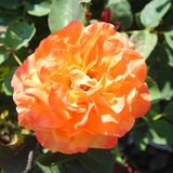 Brilliant and Bold Orange Rose Blossom Royalty Free Stock Photos