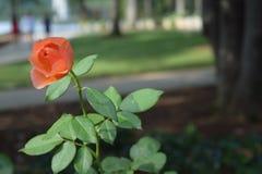 Orange Rose Blowing i vinden Arkivfoton