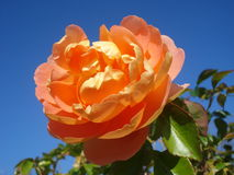 Orange rose on blue sky. Beautiful orange rose on blue autumn sky in the garden Royalty Free Stock Photos