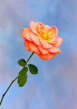 Orange Rose on Blue. View of a orange Rose in full bloom on a Blue Cloudy background Stock Photography