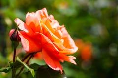 Orange rose, bokeh. Gardening season, fresh royalty free stock images