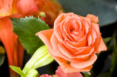 Orange rose in a bouquet. Royalty Free Stock Photography