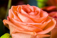 Orange rose in a bouquet. Stock Image