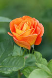 Orange rose. Bright orange rose in the garden royalty free stock photo