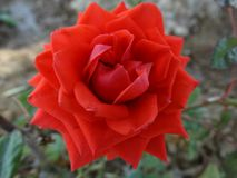 An orange rose. A bright photo of a beautiful orange rose burgeon in Greece royalty free stock images