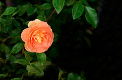 Orange Rose. Is brilliant color and has meanings of fascination and pride royalty free stock images