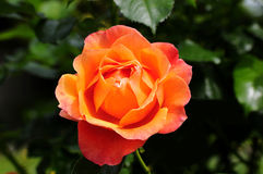 Orange rose. British columbia,canada royalty free stock photo