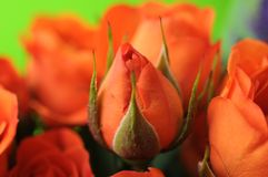 Orange rose bud Royalty Free Stock Image