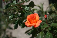 Orange rose and a bud. Close-up of an orange rose with a bud and green leaves on a blurred background royalty free stock photo